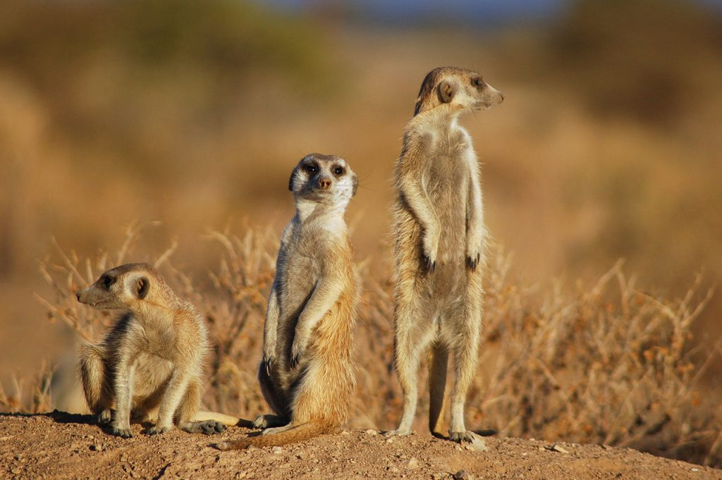 korean meerkats in natural habitat